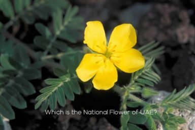 Which is the National Flower of UAE