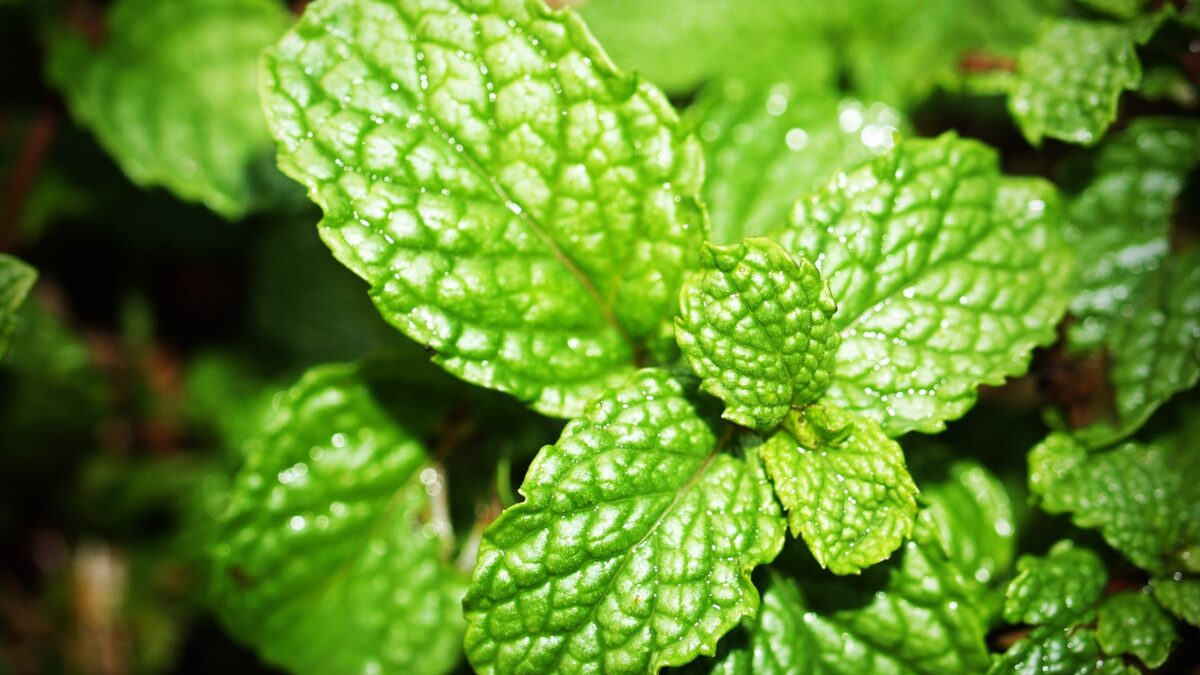 Benefits of Mint Leaves & Peppermint Oil